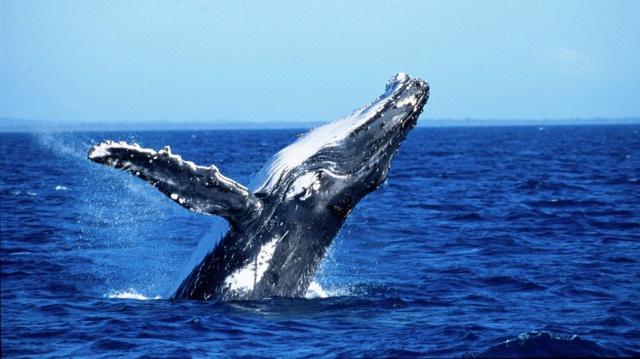 Velryby na Novém Zélandu