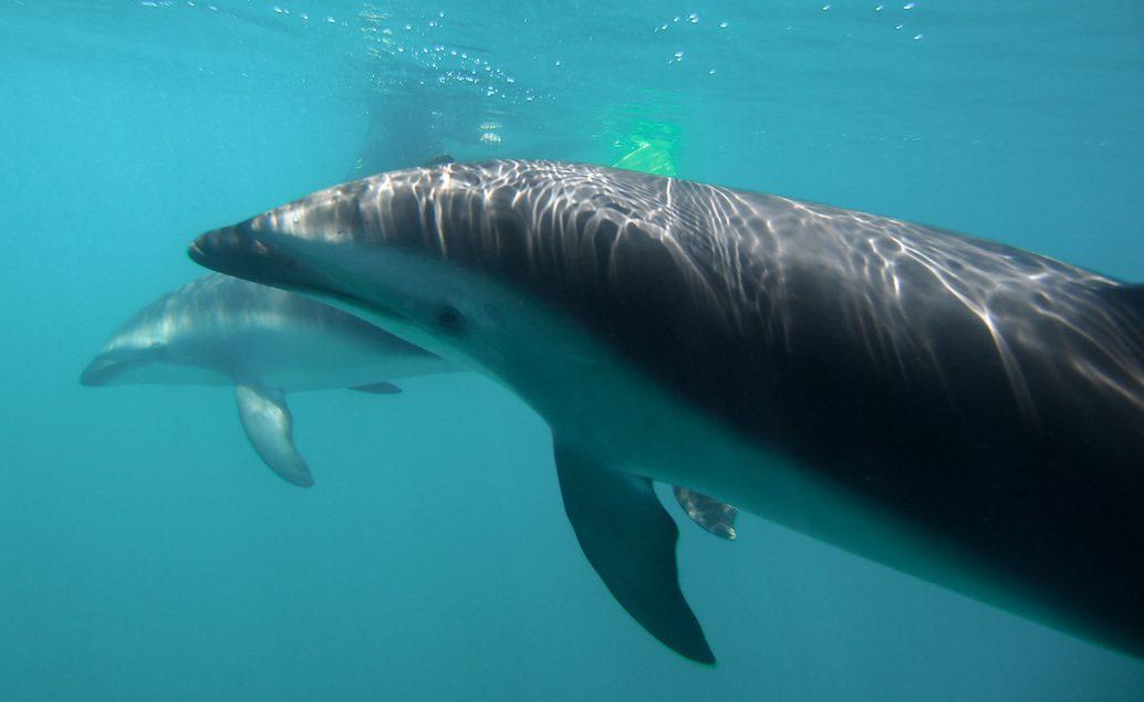 Plavání s delfíny v Marlborough Sounds
