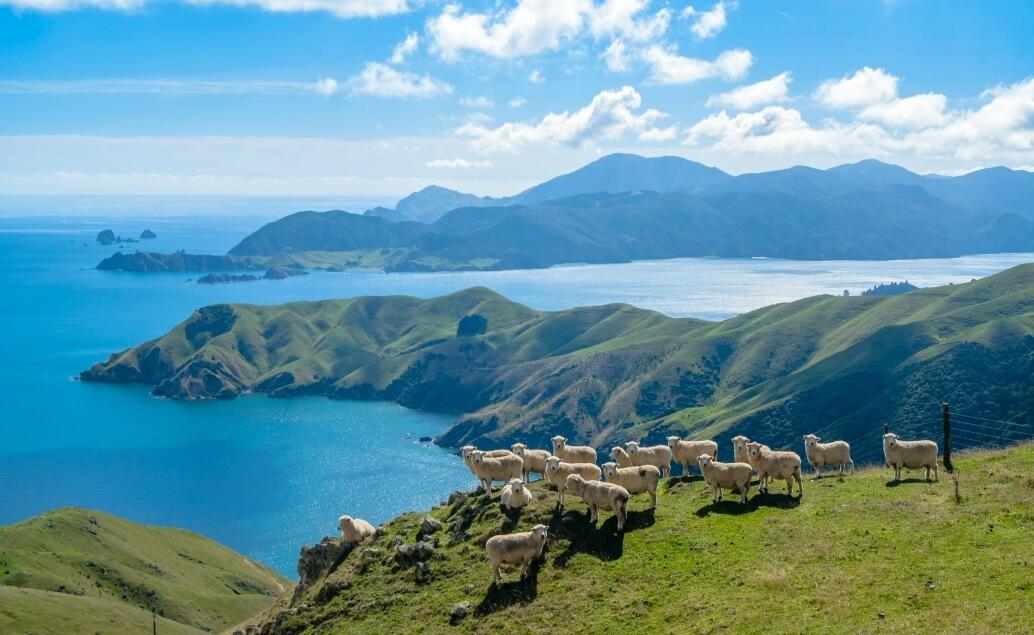 Nový Zéland aktivně pro mladé ovce